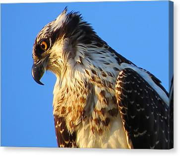 Osprey - Eager Youth Canvas Print by Dianne Cowen
