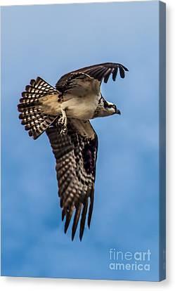 Osprey Flying Away Canvas Print by Robert Bales