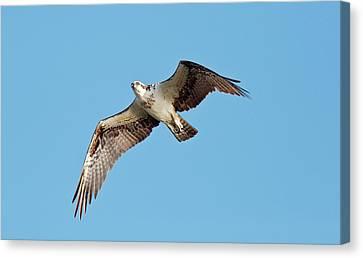 Osprey In Flight Canvas Print by Bob Gibbons
