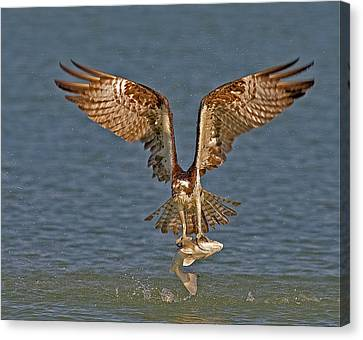 Osprey Morning Catch Canvas Print by Susan Candelario
