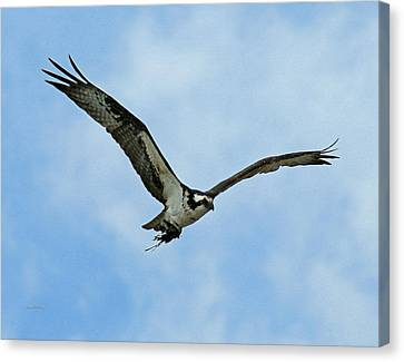 Osprey Nest Building Canvas Print by Ernie Echols