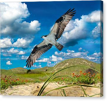 Osprey On Shackleford Banks Canvas Print by Betsy Knapp