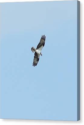 Osprey Overhead Canvas Print by Lynda Dawson-Youngclaus