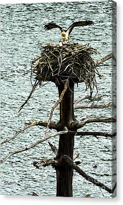 Osprey Pair Nesting Canvas Print by Thomas R Fletcher