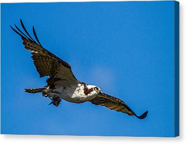 Osprey With Its Little Pray Canvas Print by Andres Leon
