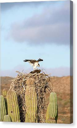 Ospreys Nesting In A Cactus Canvas Print by Christopher Swann