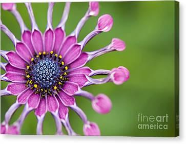 Osteospermum Astra 'purple Spoon' Canvas Print by Tim Gainey