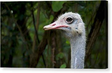 Ostrich Head Canvas Print by Aged Pixel