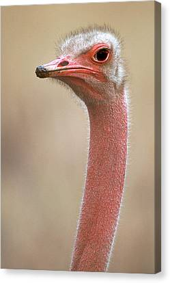 Ostrich Kenya Africa Canvas Print by Panoramic Images