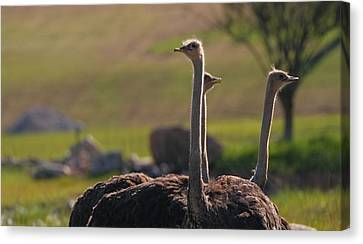 Ostriches Canvas Print by Dan Sproul