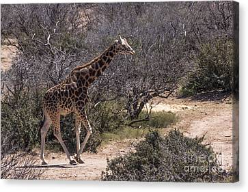 Out Of Africa Giraffe Canvas Print by Janice Rae Pariza