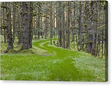 Overgrown Old Road Through Spruce Canvas Print by Kevin Smith