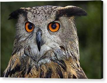 Owl Bubo Bubo Portrait Canvas Print by Matthias Hauser
