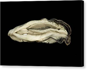 Oyster Suspended In Darkness Canvas Print by Andy Frasheski