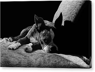 Ozzy The Boston Terrier Canvas Print by Chris Trudeau