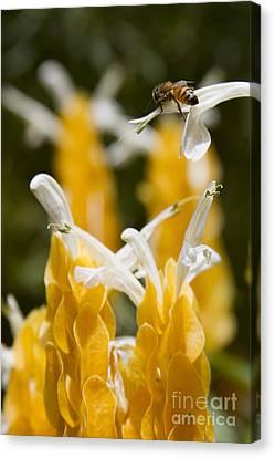 Pachystachys Lutea - Lollipop Plant - Golden Candle - Shrimp Plant Canvas Print by Sharon Mau