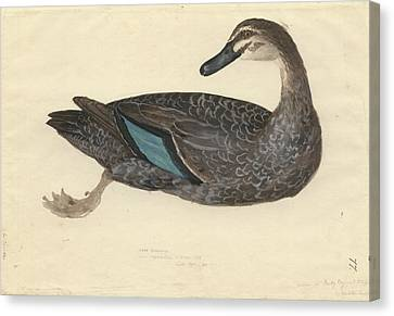 Pacific Black Duck Canvas Print by Natural History Museum, London