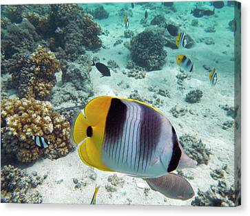 Pacific Double-saddle Butterflyfish Canvas Print by David Wall