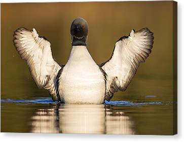 Pacific Loon Wing Flap Canvas Print by Tim Grams