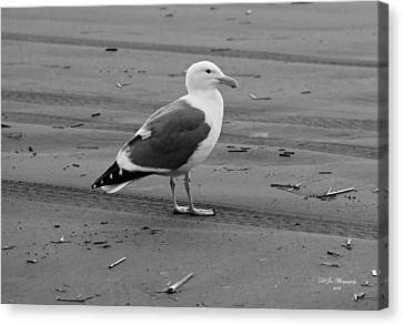 Pacific Seagull In Black And White Canvas Print by Jeanette C Landstrom