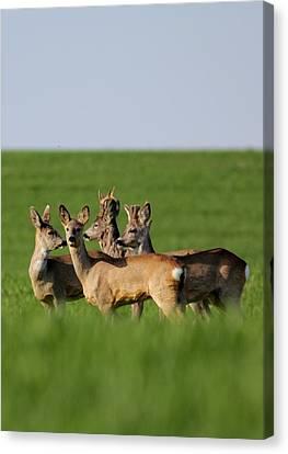 Pack Of Roe Deer Canvas Print by Dragomir Felix-bogdan