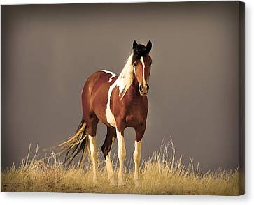 Paint Filly Wild Mustang Sepia Sky Canvas Print by Rich Franco