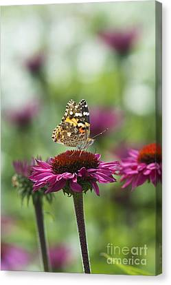 Painted Lady Butterfly  Canvas Print by Tim Gainey