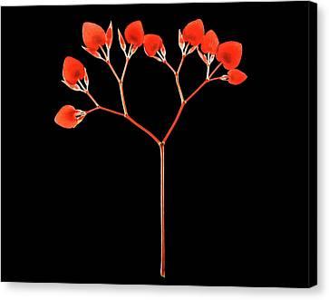 Painted Lead Begonia (begonia Picta) Canvas Print by Gilles Mermet