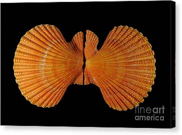 Painted Scallop Canvas Print by Scott Camazine