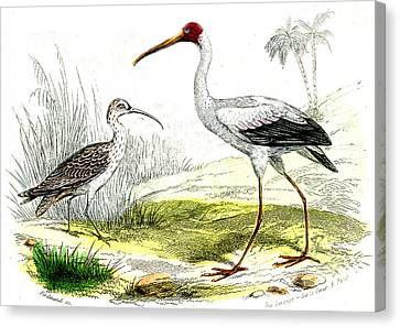 Painted Storks Canvas Print by Collection Abecasis
