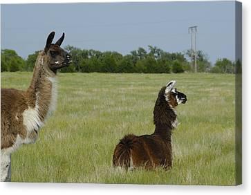 Pair Of Alpacas Canvas Print by Charles Beeler