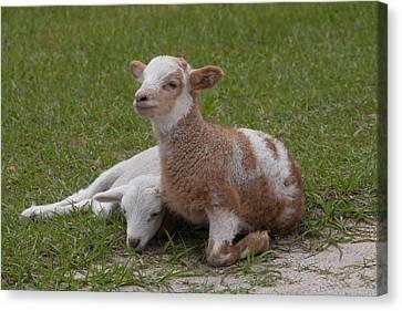 Pair Of Lambs Canvas Print by Richard Baker