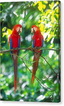 Pair Of Scarlet Macaws Canvas Print by Art Wolfe