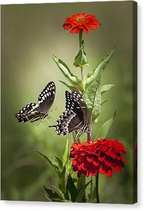 Palamedes Swallowtail Butterflies Canvas Print by Jo Ann Tomaselli