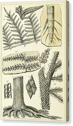 Paleozoic Flora, Calamites, Illustration Canvas Print by British Library
