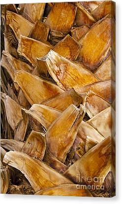 Palm Tree Trunk Detail Canvas Print by Bob Phillips