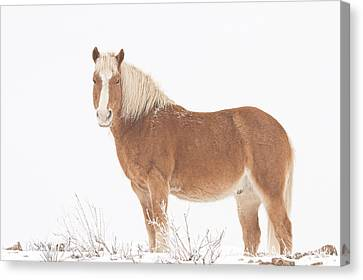 Palomino Horse In The Snow Canvas Print by James BO  Insogna