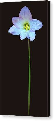Panoramic Of A Lily. Canvas Print by Chris  Kusik