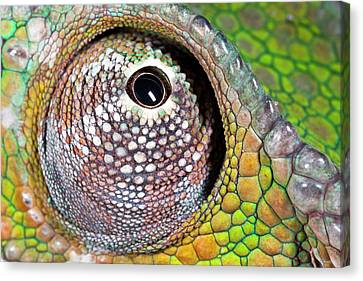 Panther Chameleon Eye Canvas Print by Alex Hyde