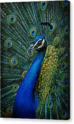 Paon Canvas Print by Joachim G Pinkawa