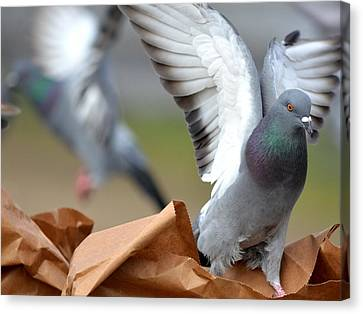 Paper Bag Pigeons Canvas Print by Fraida Gutovich