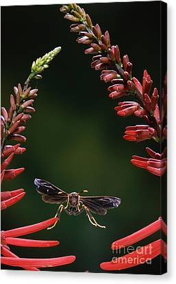 Paper Wasp In Flight Canvas Print by Stephen Dalton