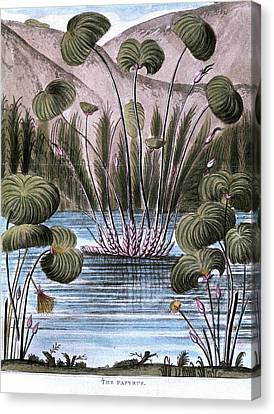 Papyrus Reed (cyperus Papyrus) Canvas Print by Universal History Archive/uig