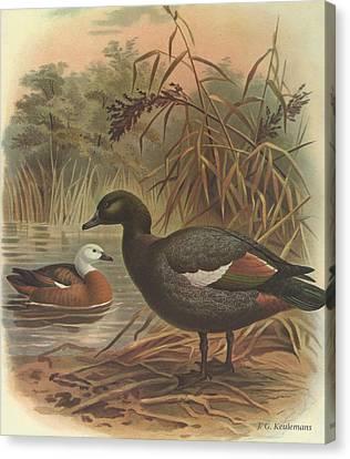 Paradise Duck Canvas Print by J G Keulemans