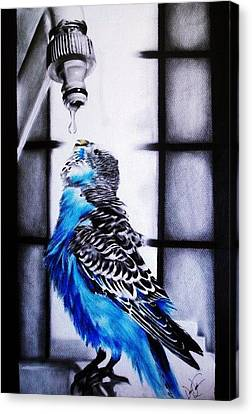 Parakeet Drinking Water Canvas Print by Desire Doecette