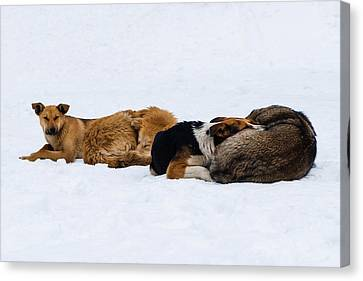 Pariah Dogs On The Snow - Featured 2 Canvas Print by Alexander Senin