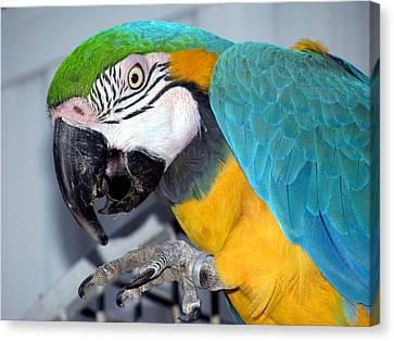 Parrot Canvas Print by Selma Glunn
