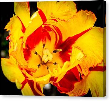 Parrot Tulip Canvas Print by Randy Scherkenbach