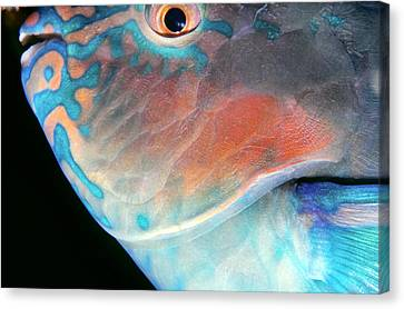 Parrotfish 2 Canvas Print by Dawn Eshelman
