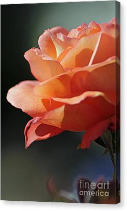 Partial Rose Canvas Print by Chris Anderson